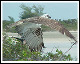 osprey on northcaicos photo by Allen Ray Smith